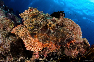 Scorpaenopsis diabolus (devil scorpionfish) by Raffaele Livornese 